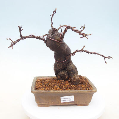 Outdoor bonsai - Pseudocydonia sinensis - Chinese quince - 1