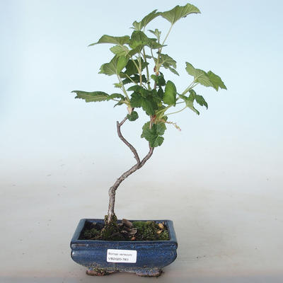 Outdoor bonsai - Blood Currant - Ribes sanguneum VB2020-783 - 1