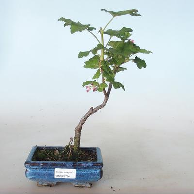 Outdoor bonsai - Blood Currant - Ribes sanguneum VB2020-784 - 1