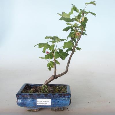 Outdoor bonsai - Blood Currant - Ribes sanguneum VB2020-786 - 1