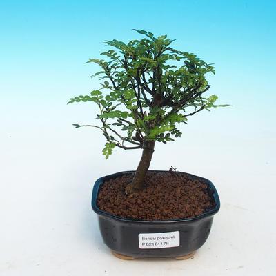 Room bonsai - Zantoxylum piperitum - pepper - 1
