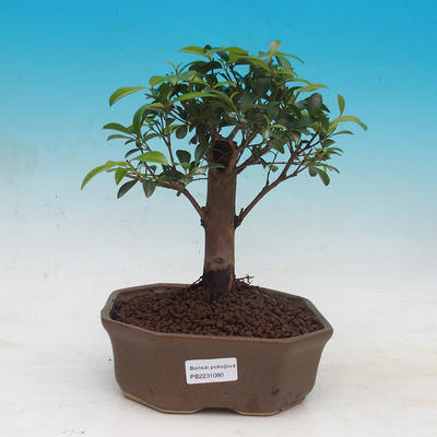 Room bonsai - Australian cherry - Eugenia uniflora - 1