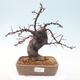 Outdoor bonsai - Pseudocydonia sinensis - Chinese quince - 1/7