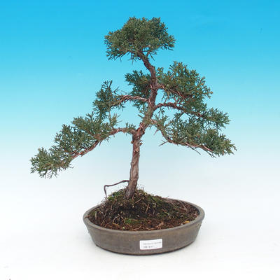 Outdoor bonsai - Juniperus chinensis Chinese -Jalovec