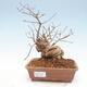Outdoor bonsai - beautiful Callicarpa - 1/6