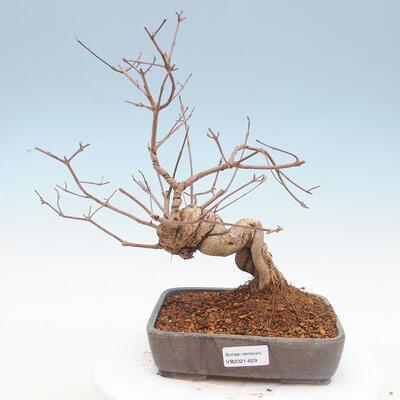 Outdoor bonsai - beautiful Callicarpa - 1