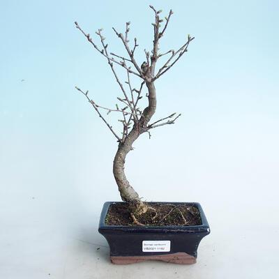 Outdoor bonsai -Pseudolarix amabis-Pamodrine - 1