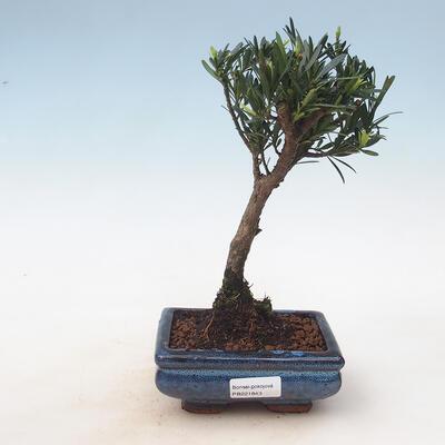 Room bonsai - Podocarpus - Stone thousand - 1