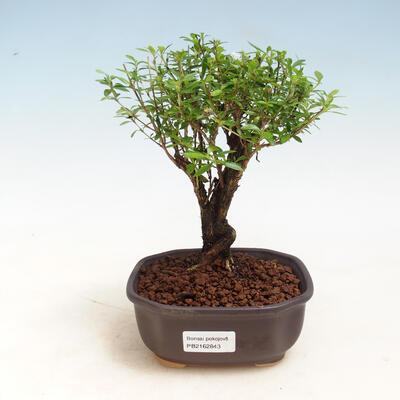 Indoor bonsai - Serissa foetida - Tree of a Thousand Stars - 1