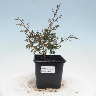 Outdoor bonsai - Japanese azalea - Azalea Secchuka secchhura - 1
