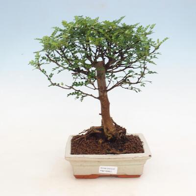 Indoor bonsai - Zantoxylum piperitum - Pepper tree - 1