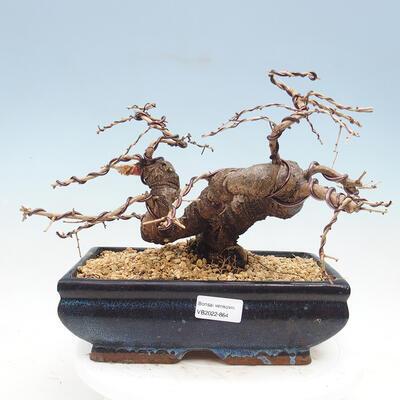 Outdoor bonsai - Japanese azalea - Azalea SHINSEI - 1