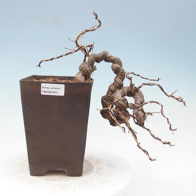 Outdoor bonsai - Japanese azalea - Azalea KINU NO MAI - 1