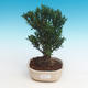 Room bonsai - Buxus harlandii - cork buxus - 1/4