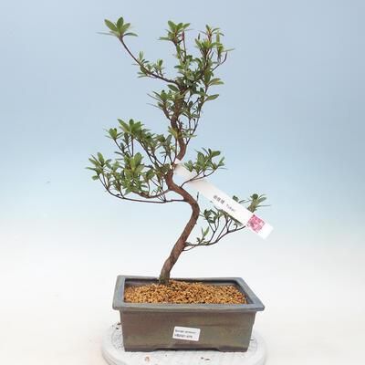 Outdoor bonsai - Japanese azalea - Azalea YUKARI - 1