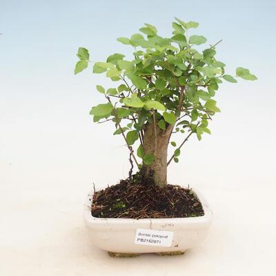 Indoor bonsai -Ligustrum chinensis - Bird's beak - 1