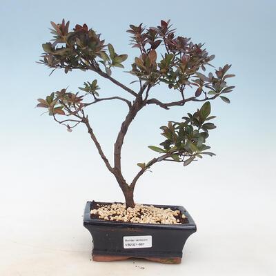 Outdoor bonsai - Rhododendron sp. - Pink azalea - 1