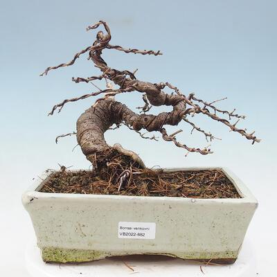 Outdoor bonsai - Japanese azalea - Azalea HOSHI NO KAGAYAKI - 1