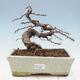 Outdoor bonsai - Japanese azalea - Azalea HOSHI NO KAGAYAKI - 1/2