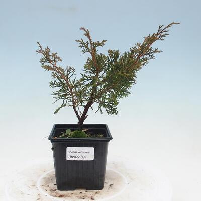 Outdoor bonsai - Japanese azalea - Azalea BENIcASA - 1