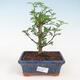Indoor bonsai - Syzygium - Allspice - 1/3