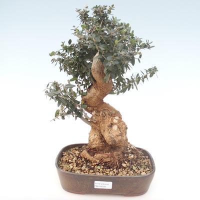 Indoor bonsai - Olea europaea sylvestris -Oliva European small leaf PB2192025
