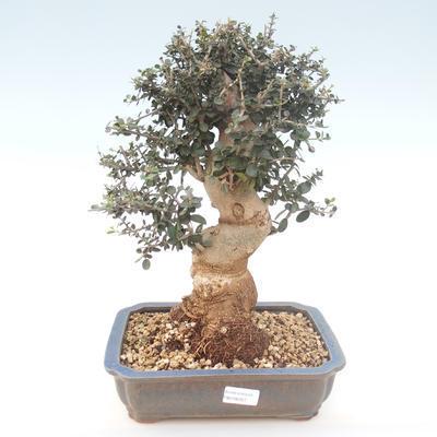 Indoor bonsai - Olea europaea sylvestris -Oliva European small leaf PB2192027