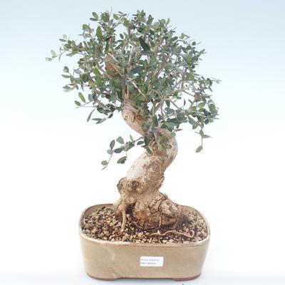 Indoor bonsai - Olea europaea sylvestris -Oliva European small leaf PB2192029