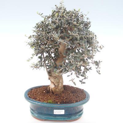 Indoor bonsai - Olea europaea sylvestris -Oliva European small leaf PB2192032 - 1