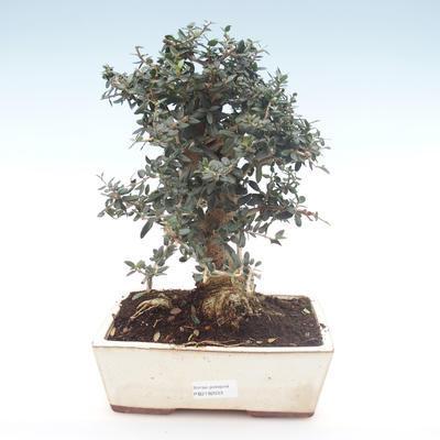 Indoor bonsai - Olea europaea sylvestris -Oliva European small leaf PB2192033 - 1