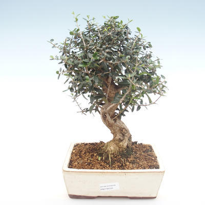 Indoor bonsai - Olea europaea sylvestris -Oliva European small leaf PB2192034 - 1
