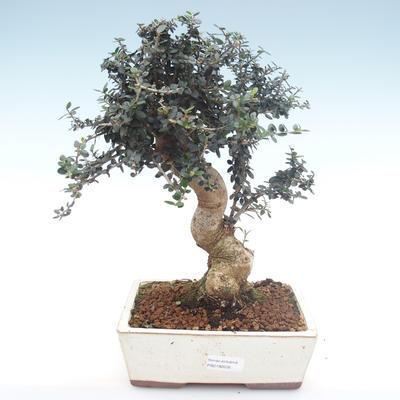 Indoor bonsai - Olea europaea sylvestris -Oliva European small leaf PB2192035 - 1