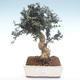 Indoor bonsai - Olea europaea sylvestris -Oliva European small leaf PB2192035 - 1/6