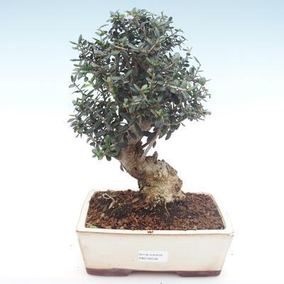 Indoor bonsai - Olea europaea sylvestris -Oliva European small leaf PB2192036 - 1