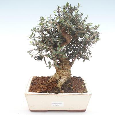 Indoor bonsai - Olea europaea sylvestris -Oliva European small leaf PB2192037 - 1