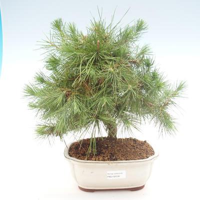 Indoor bonsai-Pinus halepensis-Aleppo pine PB2192038