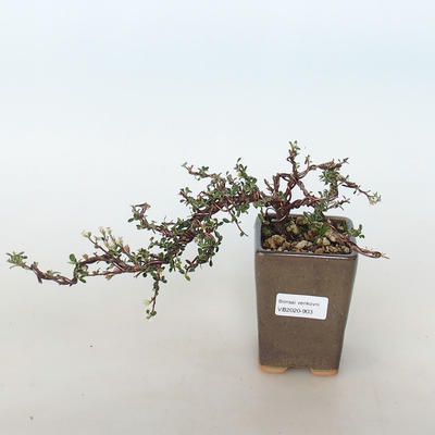 Outdoor bonsai-Cotoneaster horizontalis-Rockrose - 1