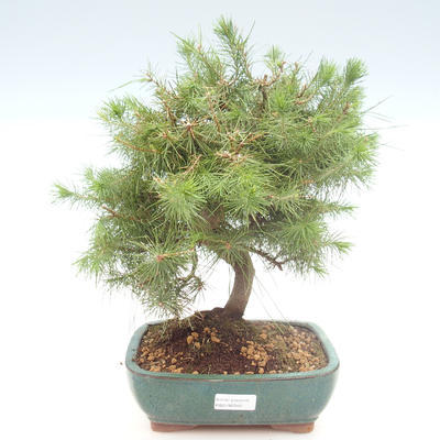 Indoor bonsai-Pinus halepensis-Aleppo pine PB2192040