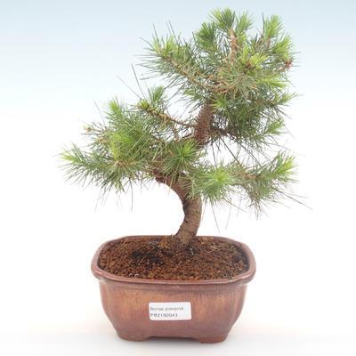 Indoor bonsai-Pinus halepensis-Aleppo pine PB2192043