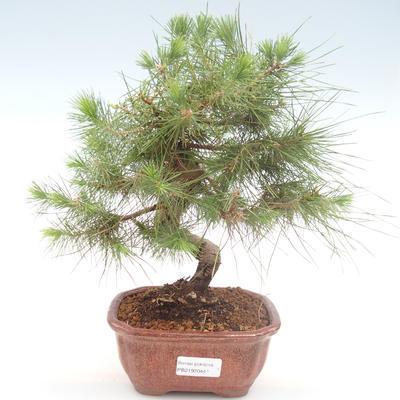 Indoor bonsai-Pinus halepensis-Aleppo pine PB2192044