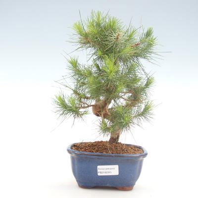Indoor bonsai-Pinus halepensis-Aleppo pine PB2192045
