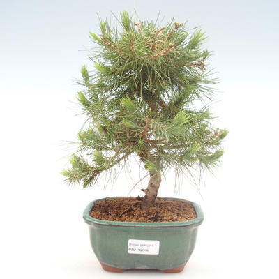 Indoor bonsai-Pinus halepensis-Aleppo pine PB2192046