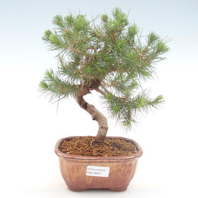 Indoor bonsai-Pinus halepensis-Aleppo pine PB2192047