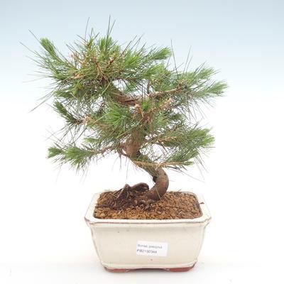 Indoor bonsai-Pinus halepensis-Aleppo pine PB2192048