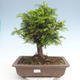 Outdoor bonsai - Taxus bacata - Red yew - 1/3