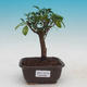 Room bonsai - Australian cherry - Eugenia uniflora - 1/3