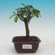 Room bonsai - Australian cherry - Eugenia uniflora - 1/3