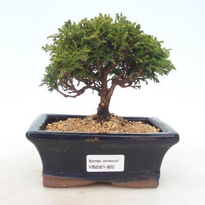 Outdoor bonsai - Pea-bearing Cypress - Chamacyparys pisifera TSUKUMO - 1