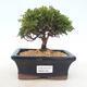 Outdoor bonsai - Pea-bearing Cypress - Chamacyparys pisifera TSUKUMO - 1/2