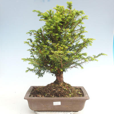 Outdoor bonsai - Taxus bacata - Red yew - 1